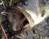 Bass Mouth