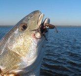 Highland Bayou Redfish