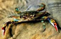 Redfish - Blue Crab