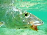 bonefish bugg