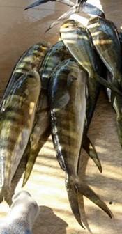 chicken dolphin, jason carruth